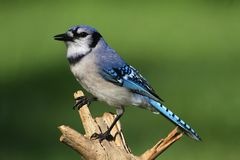 Blue Jay (corvid cyanocitta) Royalty Free Stock Photo