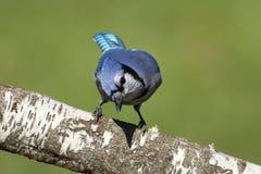 Blue Jay (corvid cyanocitta) Stock Images