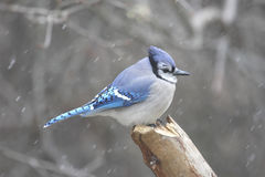 Blue Jay (corvid cyanocitta). In a snow storm Stock Photography