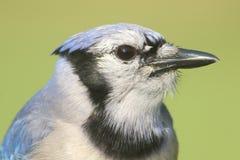 Blue Jay (corvid cyanocitta) Stock Image
