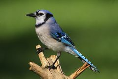 Blue Jay (corvid cyanocitta) Stock Photo