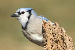 Blue Jay (corvid cyanocitta) Royalty Free Stock Photography