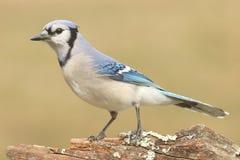 Blue Jay (corvid cyanocitta) Stock Photography