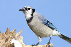 Blue Jay (corvid cyanocitta) on a stump Stock Photos