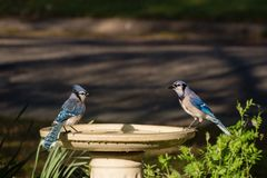 Blue Jay Couple on Birdbath on Sunny Afternoon. Blue Jay male and female, facing each other on opposite sides of a birdbath. They are lit by the warm afternoon Royalty Free Stock Image