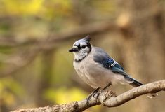 Blue Jay, Cyanocitta cristata Royalty Free Stock Photos