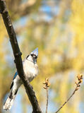 Blue jay, cyanocitta cristata Royalty Free Stock Images