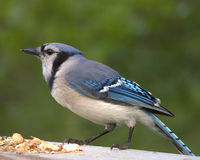 Blue Jay (Cyanocitta cristata) Royalty Free Stock Photo