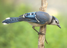 Blue Jay (Cyanocitta cristata) Royalty Free Stock Photography