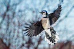 Free Blue Jay - Cyanocitta Cristata Royalty Free Stock Photo - 45757585
