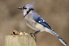 Blue Jay (Cyanocitta cristata) Royalty Free Stock Images