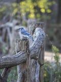 Blue Jay Cyanocitta Cristata Royalty Free Stock Images