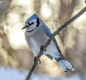 Blue jay, Cyanocitta cristata. Is a passerine bird in the family Corvidae, native to North America Royalty Free Stock Photo