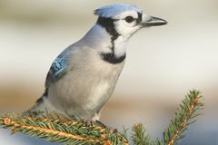 Blue Jay cyanocitta cristata. In a pine tree Royalty Free Stock Images