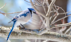 Blue Jay (Cyanocitta cristata) in early springtime, perched on a branch, observing and surveying his domain. Royalty Free Stock Photos