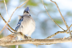 Blue Jay (Cyanocitta cristata) in early springtime, perched on a branch, observing and surveying his domain. Stock Images