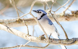 Blue Jay (Cyanocitta cristata) in early springtime, perched on a branch, observing and surveying his domain. Stock Image