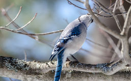 Blue Jay Cyanocitta cristata in early springtime, perched on a branch, observing and surveying his domain. Blue Jay with attitude, Cyanocitta cristata looking stock image