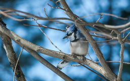 Blue Jay Cyanocitta cristata in early springtime, perched on a branch, observing and surveying his domain. Blue Jay Cyanocitta cristata looking for peanuts in Stock Photography