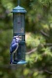 Blue Jay (Cyanocitta cristata) Stock Image