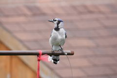 Blue Jay (Cyanocitta cristata) on Feeder Arm Stock Images