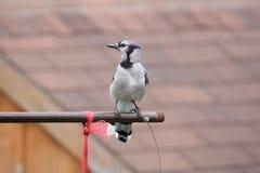 Blue Jay (Cyanocitta cristata) on Feeder Arm. Blue Jay (Cyanocitta cristata) on a metal bird feeder support arm Stock Images