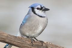 Blue Jay Cyanocitta cristata. With a light background Royalty Free Stock Image