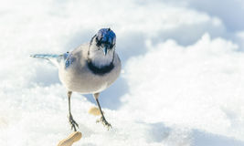 Blue Jay (Cyanocitta cristata) looking at camera,  on melting springtime corn snow. Royalty Free Stock Photos