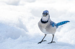 Blue Jay (Cyanocitta cristata) on melting springtime corn snow. Royalty Free Stock Images