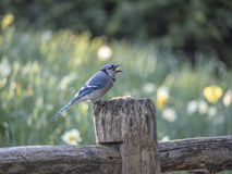 Blue jay Cyanocitta cristata. Is a passerine bird in the family Corvida Stock Photography