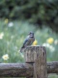 Blue jay Cyanocitta cristata. Is a passerine bird in the family Corvida Royalty Free Stock Image