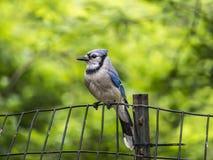 Blue jay, Cyanocitta cristata. Is a passerine bird in the family Corvidae, native to North America Royalty Free Stock Photos