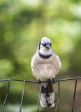 Blue jay, Cyanocitta cristata. Is a passerine bird in the family Corvidae, native to North America Stock Photo
