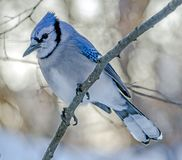 Blue jay, Cyanocitta cristata. Is a passerine bird in the family Corvidae, native to North America Royalty Free Stock Images