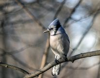 Blue jay, Cyanocitta cristata. Is a passerine bird in the family Corvidae, native to North America Royalty Free Stock Photography