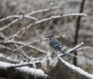 Blue jay,Cyanocitta cristata. Is a passerine bird in the family Corvidae in snow Royalty Free Stock Photo