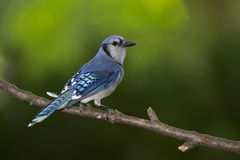 Blue Jay Royalty Free Stock Image