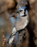 Blue Jay - Cyanocitta cristata perched on branch in spring. Blue Jay - Cyanocitta cristata perched on a branch in spring Stock Photos