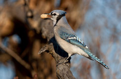 Blue Jay - Cyanocitta cristata perched on branch in spring. Blue Jay - Cyanocitta cristata perched on a branch with peanut in spring Royalty Free Stock Photos