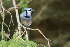 Blue Jay - Cyanocitta cristata. Blue Jay perched on an evergreen branch. Lynde Shores Conservation Area, Whitby, Ontario, Canada stock images