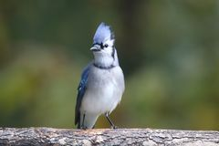 Blue Jay Perching on a Branch in Fall royalty free stock photo