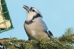 Blue Jay cyanocitta cristata. In a pine tree at a feeder with a blue background Stock Photos