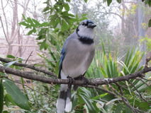 Blue Jay - Cyanocitta cristata Stock Photos