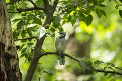 Blue Jay (Cyanocitta cristata). Spotted outdoors in Central Park, New York City Royalty Free Stock Photo