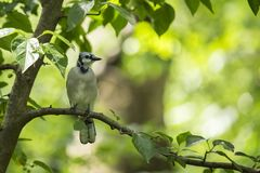 Blue Jay (Cyanocitta cristata). Spotted outdoors in Central Park, New York City Stock Photography