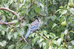Blue Jay (Cyanocitta cristata) on Tree Branch. Blue Jay (Cyanocitta cristata) perched on a branch of an old pear tree Royalty Free Stock Photos