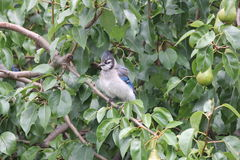 Blue Jay (Cyanocitta cristata) on Tree Branch. Blue Jay (Cyanocitta cristata) perched on a branch of an old pear tree Royalty Free Stock Images