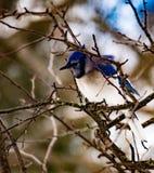 Blue Jay, das allein auf einem Baumast gleich nach einem Sturm sitzt Lizenzfreies Stockbild