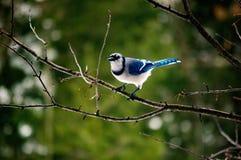 Blue Jay, das allein auf einem Baumast gleich nach einem Sturm sitzt Stockbilder