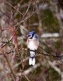Blue Jay, das allein auf einem Baumast gleich nach einem Sturm sitzt Lizenzfreies Stockfoto